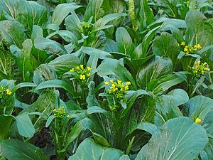 Brassica rapa - Image: Choi Sum stalks