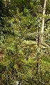 Christchurch Botanic Gardens, New Zealand section, kauri tree, juvenile, 2016-02-04.jpg