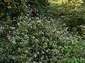 Christmas Bush (2115103006).jpg