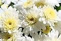 Chrysanthemum Brigitte 0zz.jpg