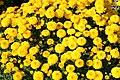 Chrysanthemum Fiotto 3zz.jpg