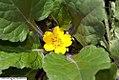 Chrysogonum virginianum Pierre 1zz.jpg