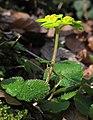 Chrysosplenium alternifolium 3 RF.jpg