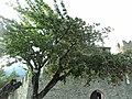 Ciliegio (doppia frutta) - panoramio.jpg