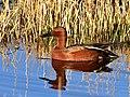 Cinnamon teal at Seedskadee National Wildlife Refuge (41125776765).jpg