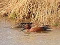 Cinnamon teal on Seedskadee National Wildlife Refuge (40929836545).jpg