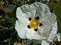 Cistus cyprius 'Common Gum Cistus' (Cistaceae) flower.JPG