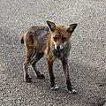 City of London Cemetery, Newham, London England - fox 05.jpg