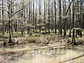 Clark conservation area, wolf river tn swamp 4 - panoramio.jpg