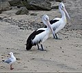 Clontarf Pelicans waiting for dinner-3 (4648996947).jpg