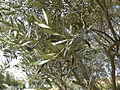 Close up of an Olive Tree (5767827378).jpg