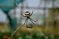 Close up of beautiful Banded Orb Weaving spider as it is about to devour its meal in Nalbari, Assam, India.jpg