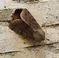 Clouded Drab. Orthosia incerta - Flickr - gailhampshire (1).jpg