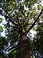 Codrii Cosminului. Stejarul-2.jpg