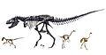 Coelurosauria skeletons.jpg