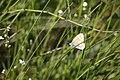Coenonympha tullia, Frasne - img 26192.jpg