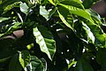 Coffea arabica 41zz.jpg