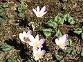 Colchicum autumnale002.jpg