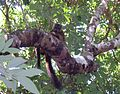 Collared Brown Lemur. Eulemur collaris. - Flickr - gailhampshire.jpg