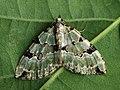 Colostygia pectinataria - Green carpet - Ларенция зеленоватая (40940392671).jpg