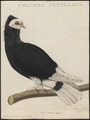 Columba domestica var. cucullata - 1770-1829 - Print - Iconographia Zoologica - Special Collections University of Amsterdam - UBA01 IZ18900169.tif