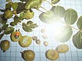 Commiphora leptophloeos - Frutos da imburana.jpg