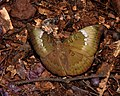 Common Baron Euthalia aconthea female by Dr. Raju Kasambe DSCN8326 (2).jpg