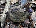 Common Baron Euthalia aconthea male by Dr. Raju Kasambe DSCN8326 (6).jpg
