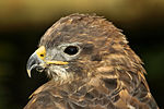 Common Buzzard - Shepreth Wildlife Park (25651752656).jpg