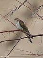 Common Cuckoo (Cuculus canorus) (48701270947).jpg