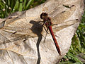 Common Darter 3 (3900772864).jpg