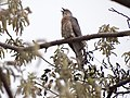 Common Hawk-Cuckoo - Hierococcyx varius - DSC05082.jpg