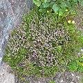 Common Heather (Calluna vulgaris) - St. John's, Newfoundland 2019-08-22.jpg
