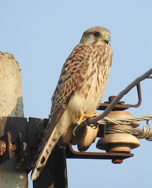 File:Common Kestrel Falco tinnunculus female by Dr. Raju Kasambe DSCN2086 (3).jpg
