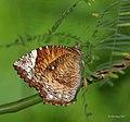 Common Palmfly (Elymnias hypermnestra) Female I IMG 0493.jpg