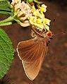 Common Redeye by Priyadarshini Supekar DSCN1041.jpg