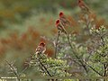 Common Rosefinch (Carpodacus erythrinus) (34768467132).jpg