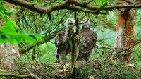 File:Common buzzard (Buteo buteo) chicks.webm