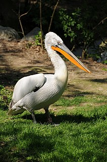 Dalmatian pelican species of bird