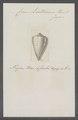 Conus lischkeanus - - Print - Iconographia Zoologica - Special Collections University of Amsterdam - UBAINV0274 086 08 0023.tif