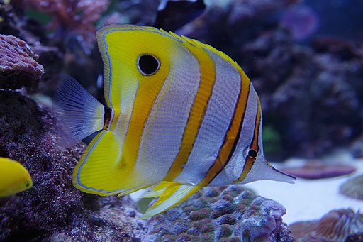 Copperband Butterflyfish at Aquarium of the Pacific