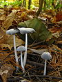 Coprinus sp. 61330.jpg