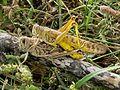 Copulating desert locust pair.jpg