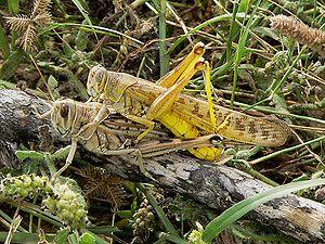 Kosher locust - Pair of desert locusts (Schistocerca gregaria)