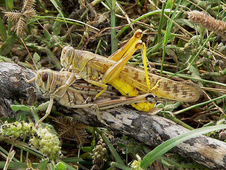 Copulating desert locust pair