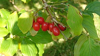 Cornus mas - Fruits