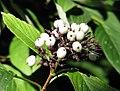 Cornus sericea 'Baileyi' Dereń Baileya 2011-09-11 03.jpg