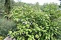 Cornus sericea f. baileyi 0zz.jpg