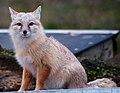 Corsac Fox 8 (6785257519).jpg