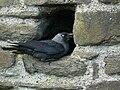 Corvus monedula Conwy Castle.jpg